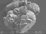 Biocarbonates resulting from S. pasteurii metabolic activity SEM (B. Ménez, IPGP)